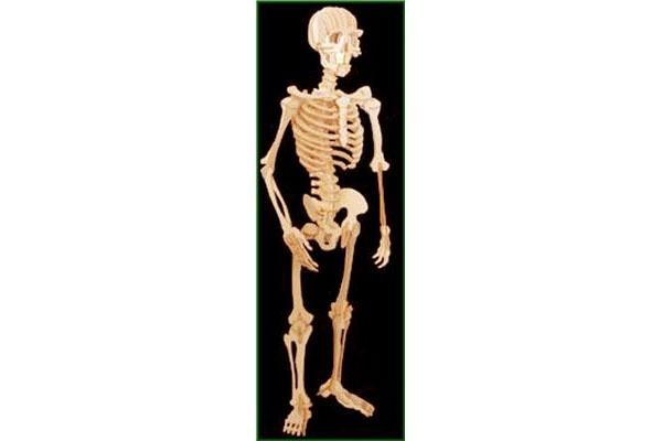 Holzbausatz Homo Sapiens Skelett von Weico