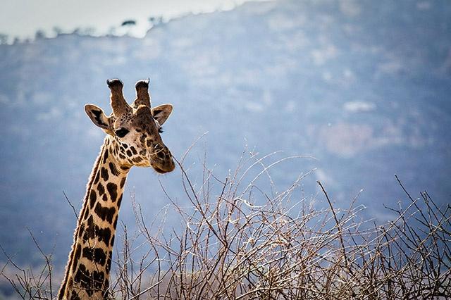 Posterunterlage Giraffe Schreibunterlage